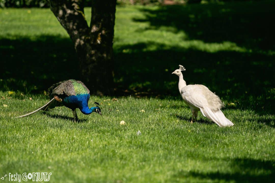 Northwest String Summit 2019 Peacocks