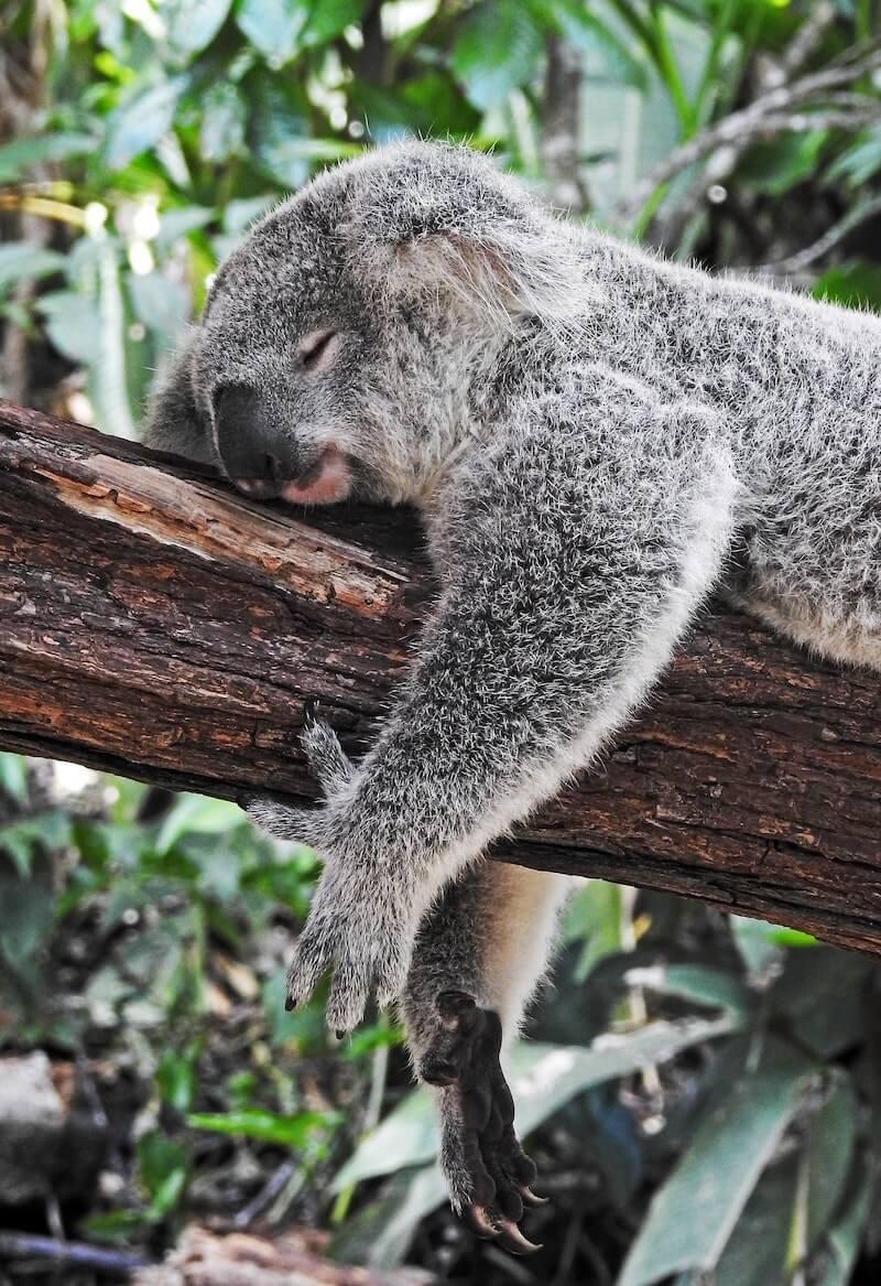 Sleeping Koala - Photo by David Clode on Unsplash